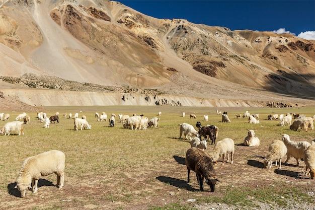 ヒマラヤのパシュミナ羊と山羊の群れ。ヒマーチャルプラデーシュ州