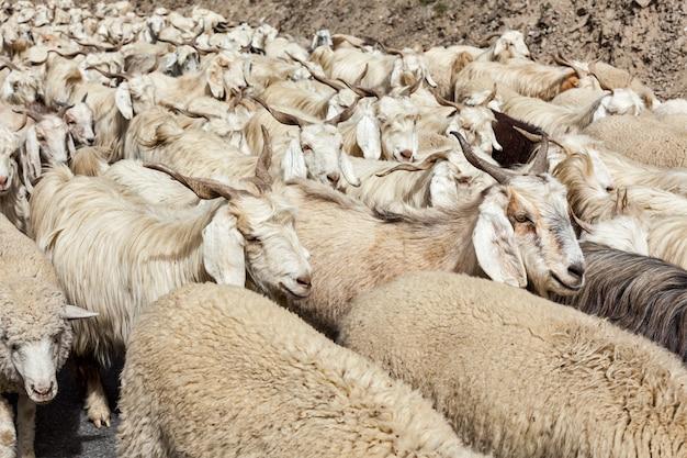 ヒマラヤのパシュミナ羊と山羊の群れ