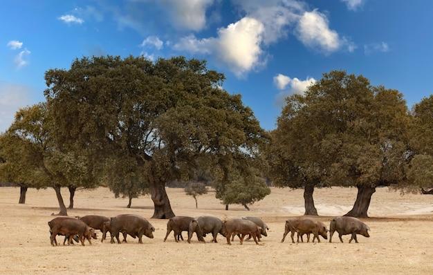 スペインの牧草地で食べる豚の群れ