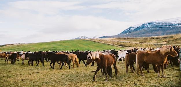 귀중한 아이슬란드 말의 무리가 농장에 모였습니다.