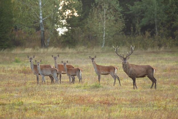 Стадо благородных оленей, глядя на поле в осенний сезон гона