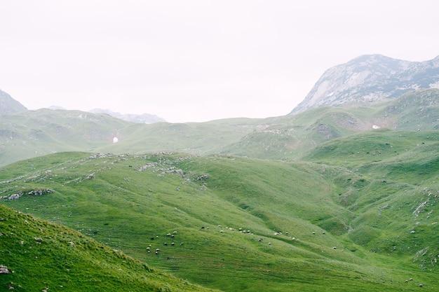 북부 몬테네그로의 녹색 초원에 양 떼 grazes