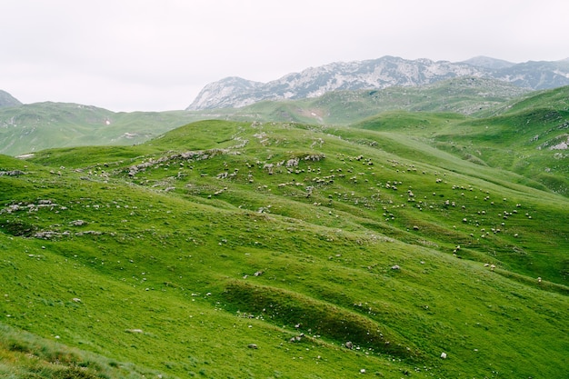 モンテネグロ北部の緑の牧草地で羊の群れが草を食む