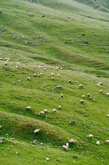 몬테네그로 북부의 푸른 초원에서 풀을 뜯는 양 떼