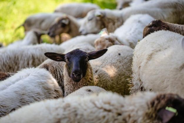 晴れた日に捕獲された草で覆われた野原で放牧している羊の群れ