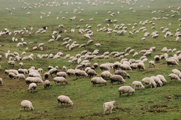 Стадо овец, пасущихся на зеленых лугах в горах кавказа в туманный день