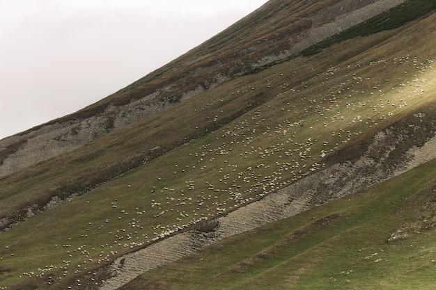 Стадо овец, пасущихся на зеленых лугах в горах кавказа