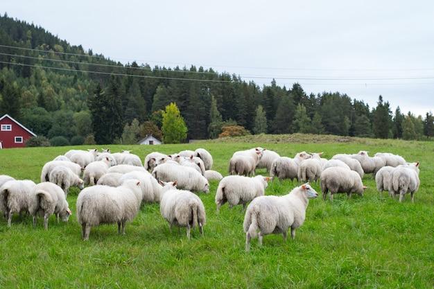 昼間の牧草地で放牧羊の群れ