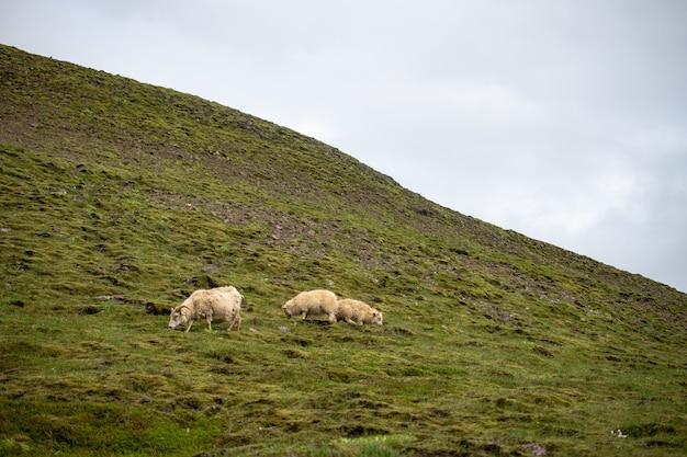 Стадо овец, пасущихся на пастбище в дневное время