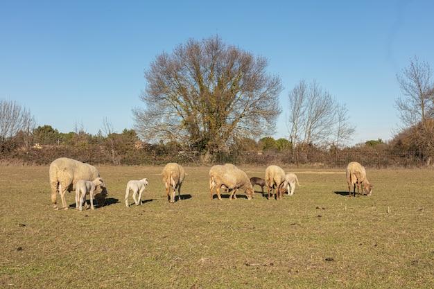 田舎の牧草地の羊の群れ