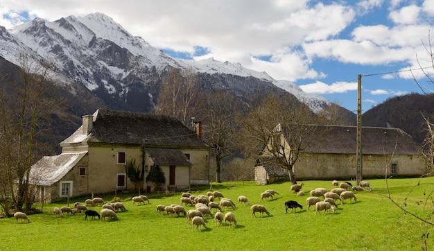 牧草地の羊の群れ