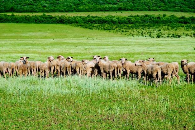 緑の野原にいる羊の群れ。