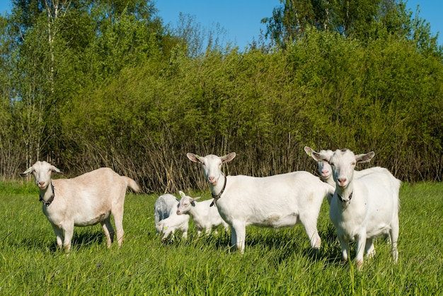 여름에 푸른 잔디 초원에 흰 염소 무리