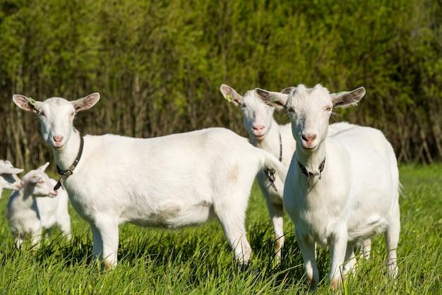 Стадо белых коз на зеленом травянистом лугу летом