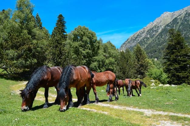 山で放牧している野生の馬の群れ。 (ピレネー、アラゴン、スペイン)