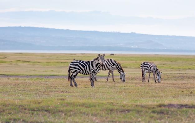 アフリカの氾濫原の野生のシマウマの群れ