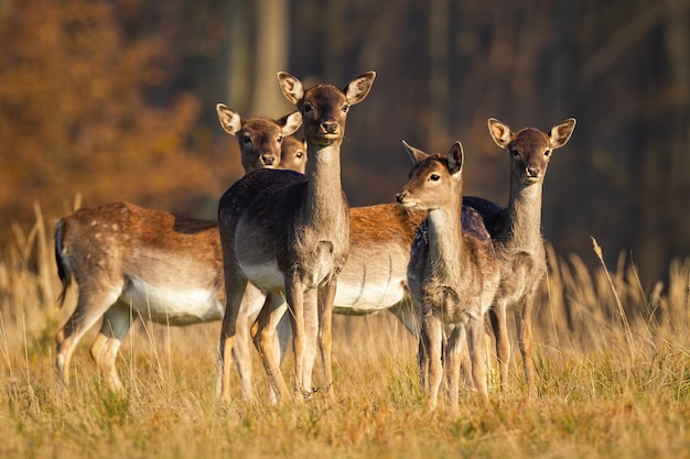Стадо молодых ланей, стоящих на лугу осенью.