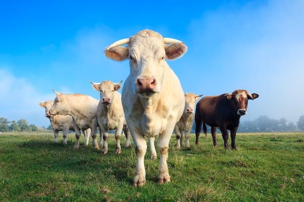 緑の牧草地の若い白い牛の群れ
