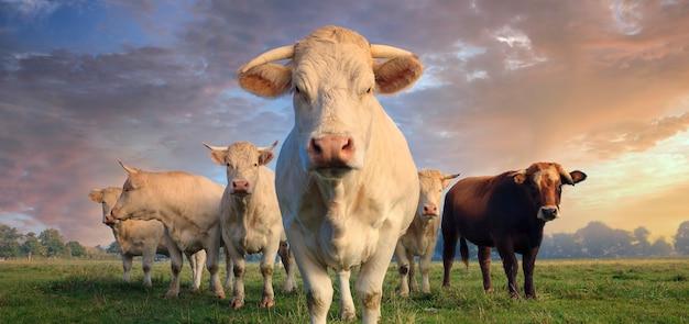 Стадо молодых белых коров на зеленом лугу