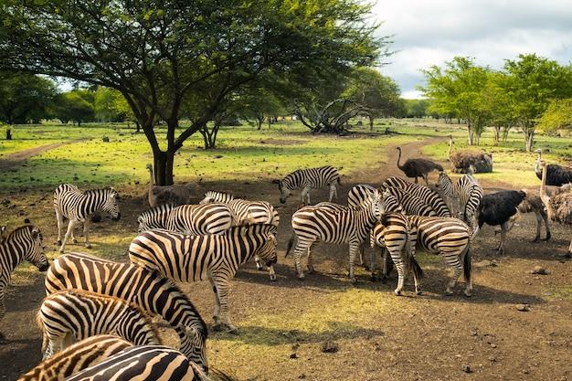 Стадо зебр и страусов в дикой природе в парке на маврикии