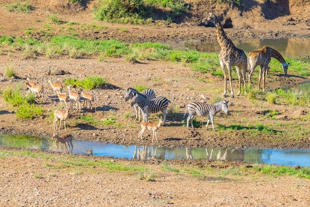 南アフリカのクルーガー国立公園のシンウェディ川の岸辺で放牧されているシマウマ、キリン、カモシカの群れ。牧歌的なフレーム。