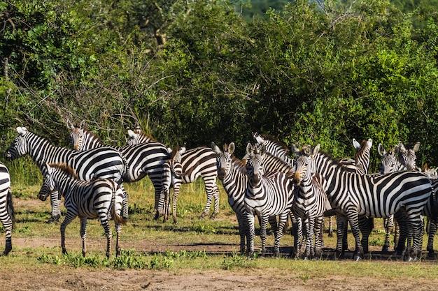 Стадо зебр в серенгети. танзания, африка