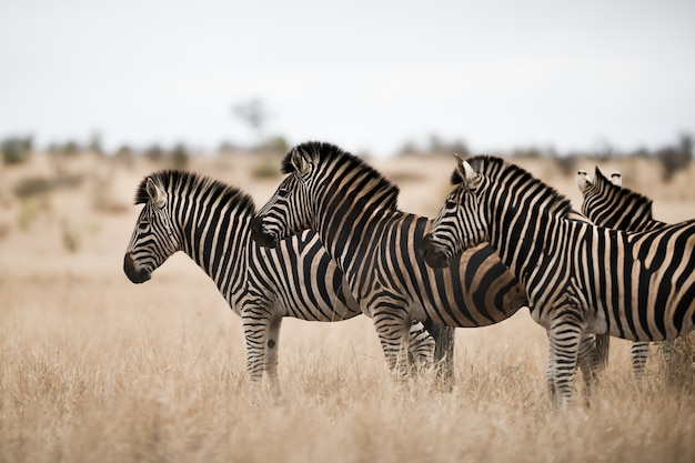 Стадо зебр, стоящих на поле саванны