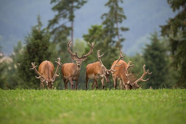 Herd of red deer stags with antlers in velvet.