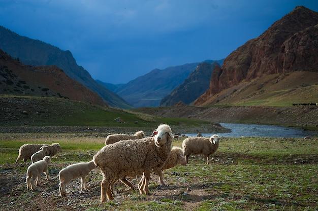 A herd of sheep cross the field, a mountain river, blue sky