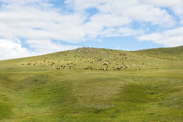 Herd of sheep and goats graze in the mongolian steppe