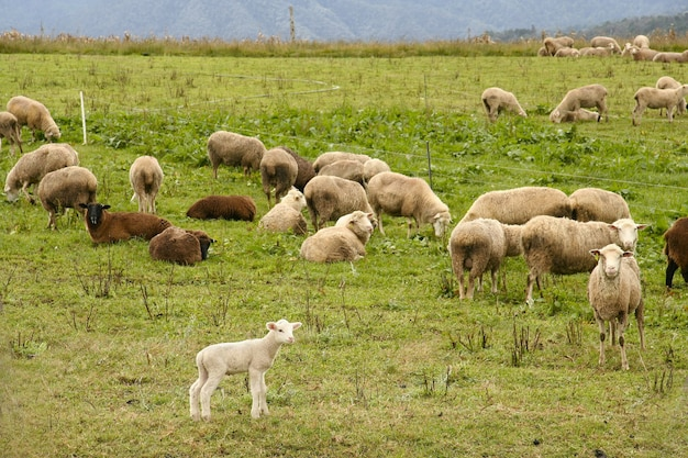 Herd of sheep grazing on the pasture during daytime