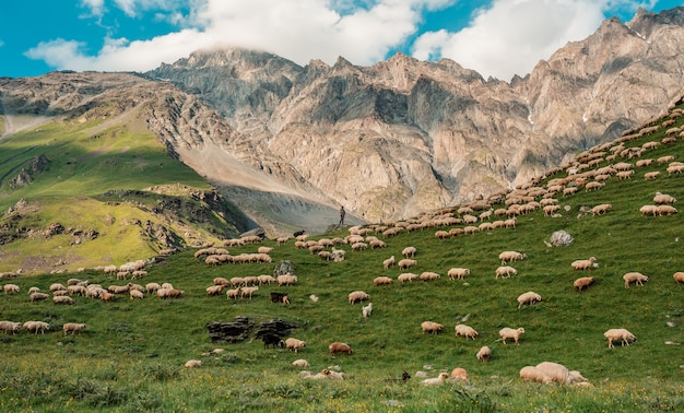 A herd of sheep in the mountains