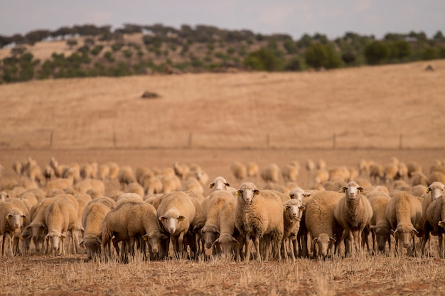 Herd of sheep on nature