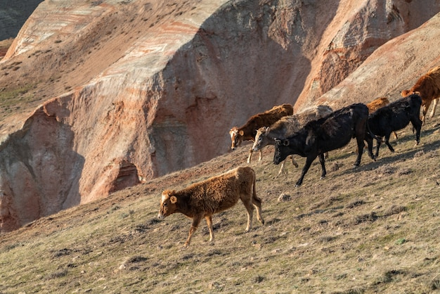 Herd of skinny cows on a mountainside