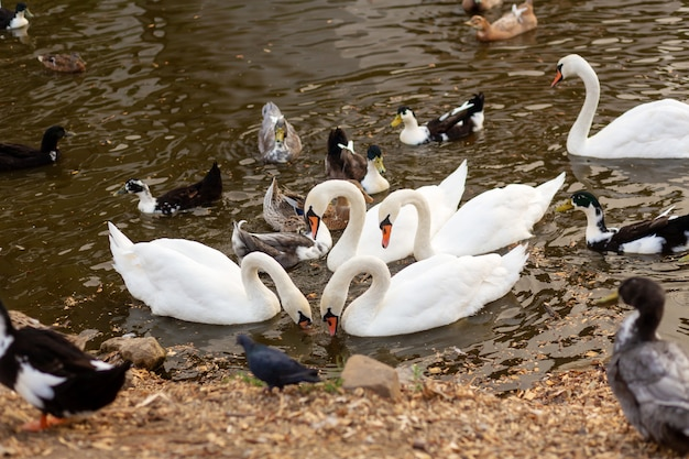 A herd of swans and ducks in a swimming lake in a city park