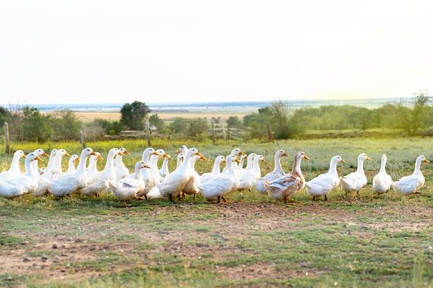 Herd of white ducks graze in a field