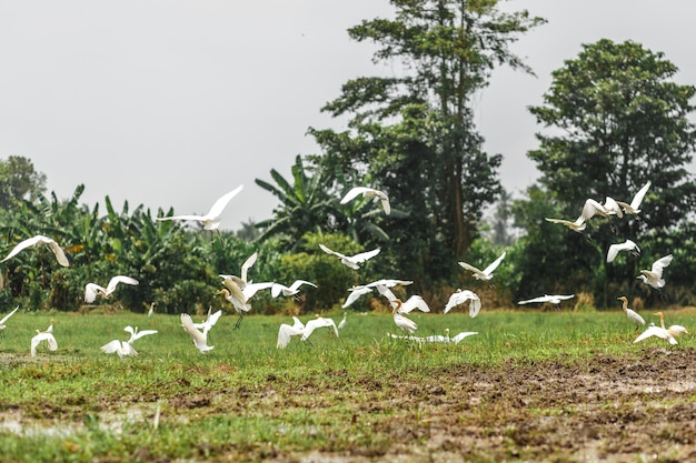 A herd of white herons on a freshly plowed field in search of worms, beetles and earth frogs