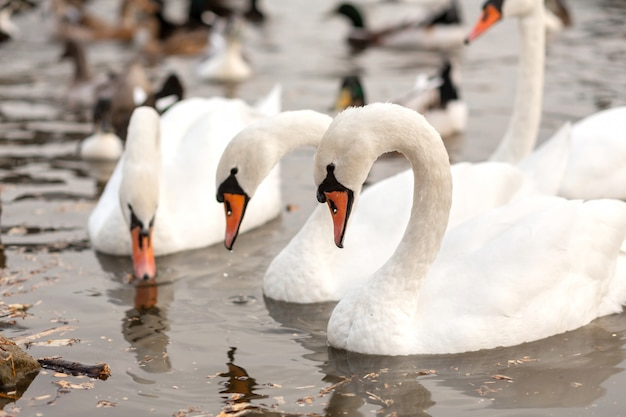 Herd of white swans in a swimming lake