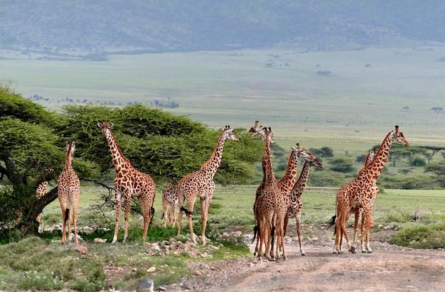 Стадо диких травоядных парнокопытных, жирафов, африканская саванна, серенгети, танзания.