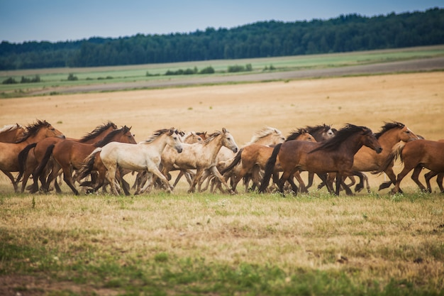 Herd of wild horses run across the field