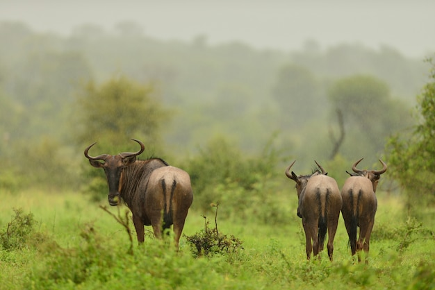 Herd of wildebeest walking away on the grass covered fields in the jungle