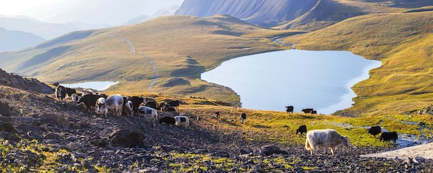 A herd of yaks in the altai mountains Premium Photo