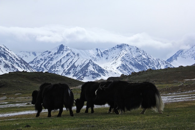 Herd of yaks grazing on the pasture with high rocky mountains