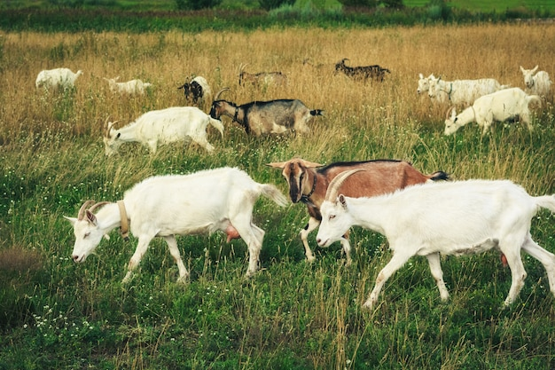 Herd of young goats in the green field