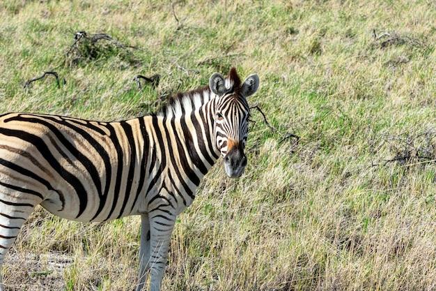 Herd of zebra eating glass field in etosha national park, namibia