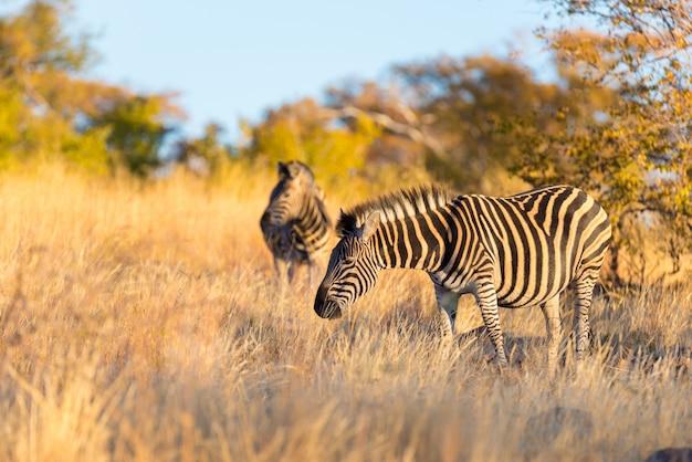 Herd of zebras in the bush