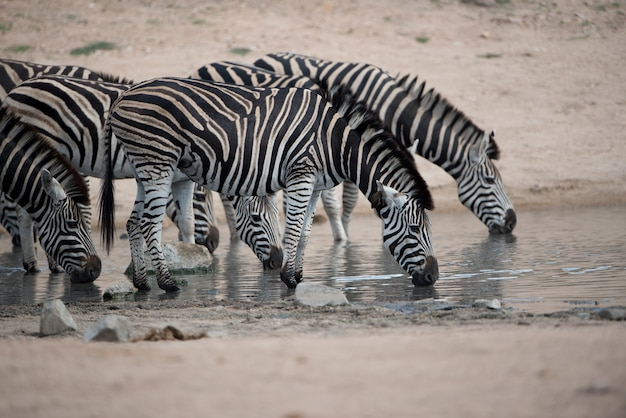 Herd of zebras drinking water on the lake