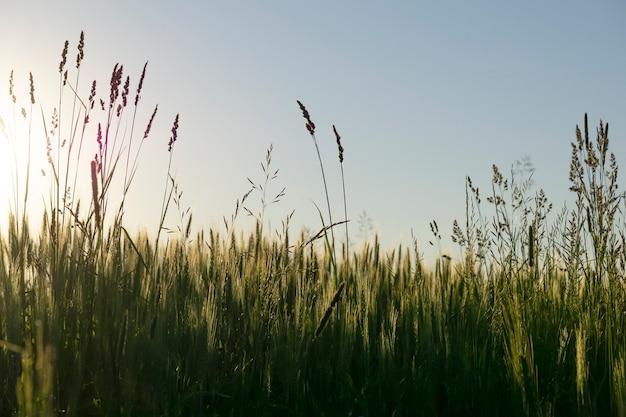 Поле стад на фоне заката. размытые дикие травы и трава, растущие теплым летним вечером в лучах прекрасного солнца. . фото высокого качества