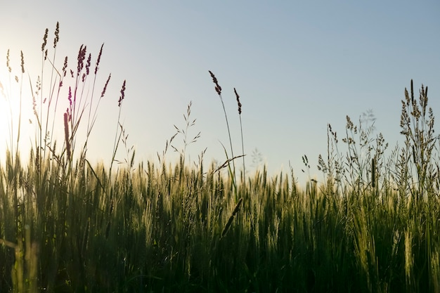 Herds field at sunset background. blurred wild herbs and grass growing on a warm summer evening in the rays of the beautiful sun. . high quality photo