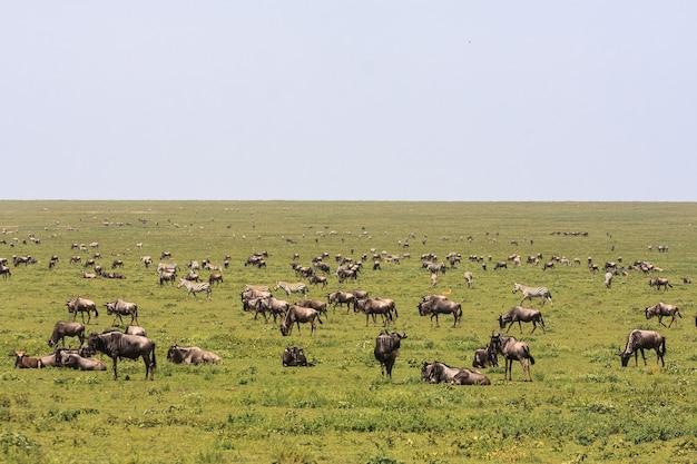 Стада в саванне серенгети. танзания, африка